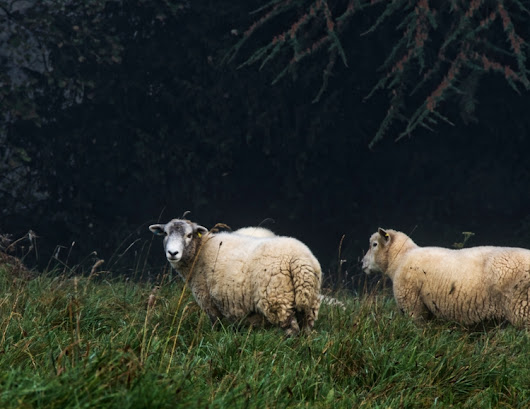 Baaaa English sheep enjoying co - neilhoward | ello
