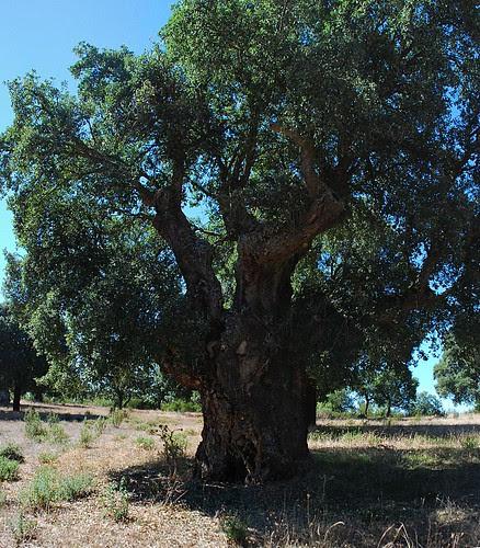Valdelosa (Salamanca). Alcornoque centenario: más de 400 años.