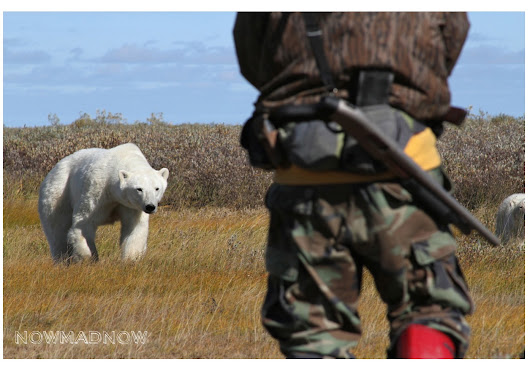 Voir des ours polaires au Canada: safari photo Manitoba Churchill