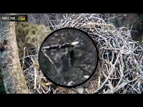 Eagle Cam Bigfoot Sighting?