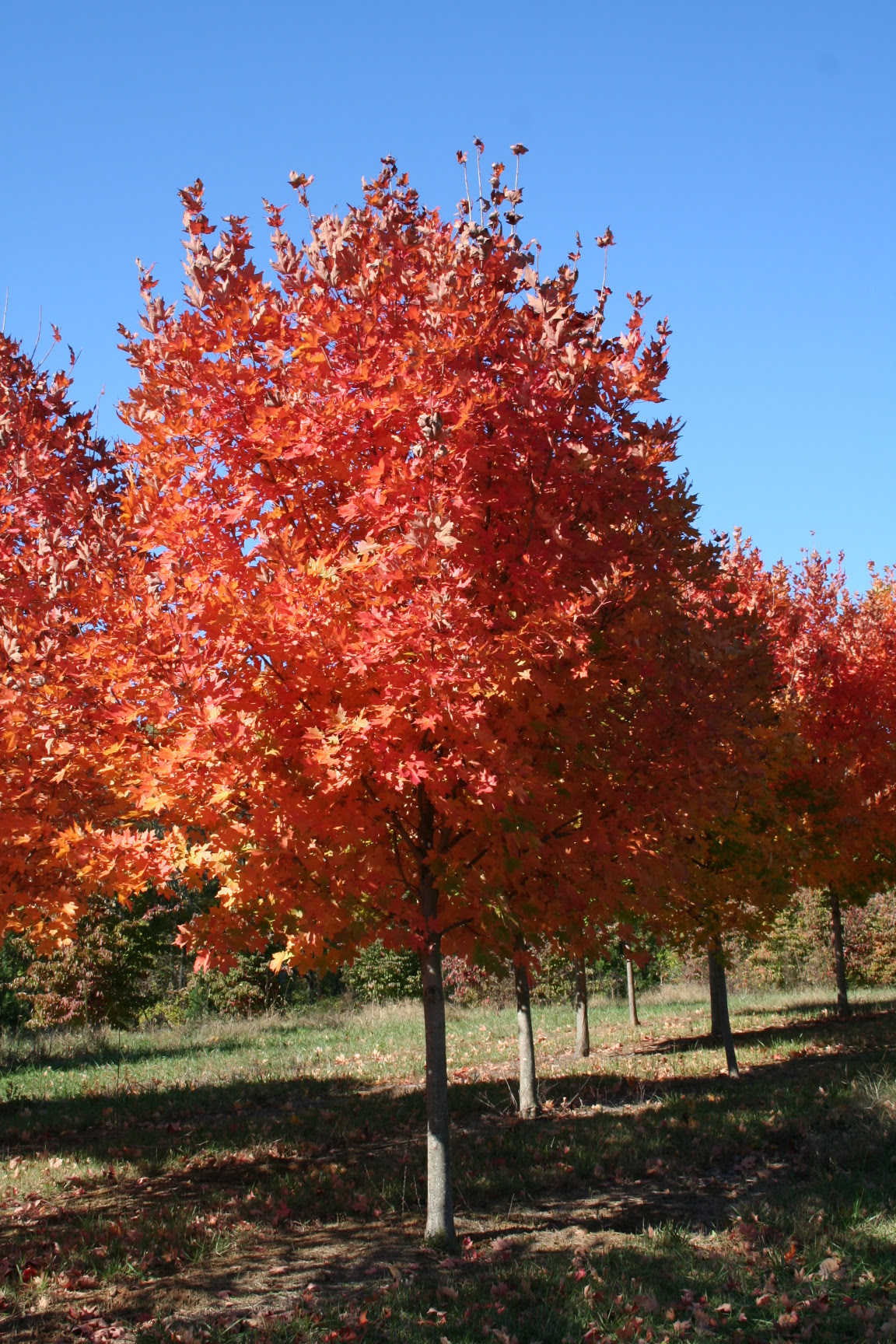 Virginia Tree Farm Legacy Sugar Maple Shade Tree Farm