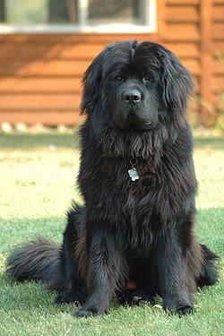 Newfoundland Most Faithful Breed of Dog