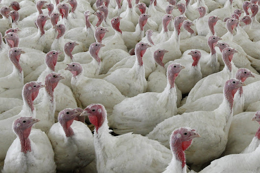 Why a salmonella outbreak shouldn't ruin your Thanksgiving