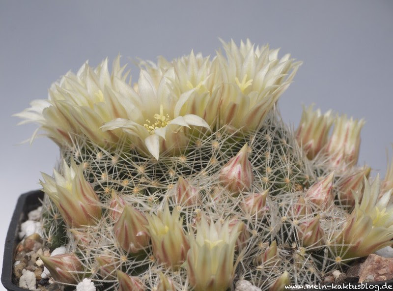 Mammillaria picta