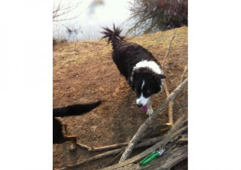 Tatu a female | Free State | Harrismith | Border Collie