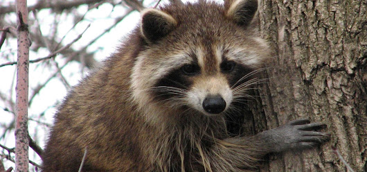 News: Rare Raccoon Parasite Causing Blindness & Severe Brain Damage Could Be More Widespread Than We Knew