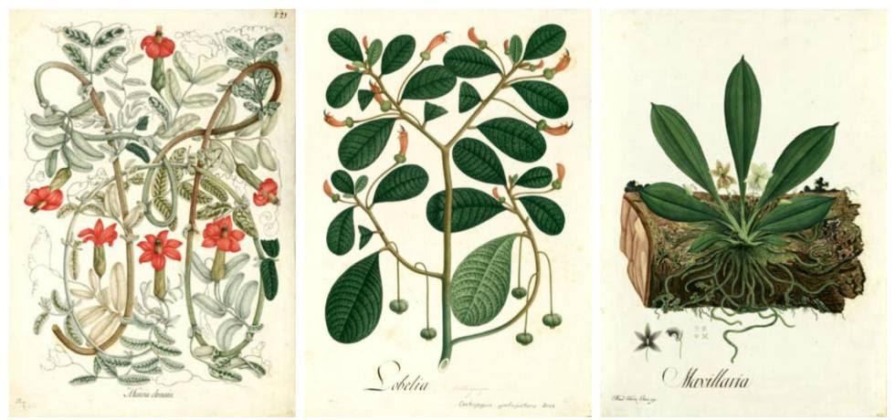 De izquierda a derecha, láminas de Mutis con dibujos de 'Mutisia Clematis', 'Lobelia (Centropogon ignoti-pictoris)' y 'Maxillaria'.