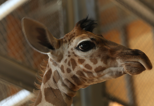 Giraffe Giving Birth Update: When Will April Have Her Baby On Live Cam?