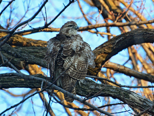 Juvenile Red-Tailed Hawk (6219)