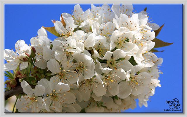 6 Caderechas en flor
