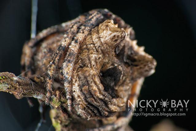 Tree Stump Orb Weaver (Poltys sp.) - DSC_5164
