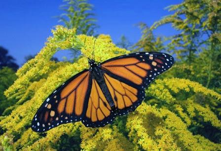 El Rey De Mariposas La Mariposa Monarca Mariposapedia