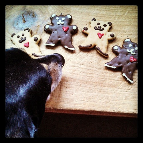 Tut checking out the Valentine's Day cookies #dogstagram #dogtreats #instadog #coonhoundmix #ilovemydogs