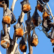 10,000 flying foxes have lost their home in Australia - The Petition Site
