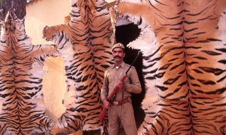 Tiger skins seized from a poacher on the outskirts of Delhi.