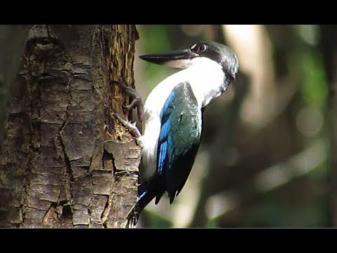 Kingfisher spearing into a tree