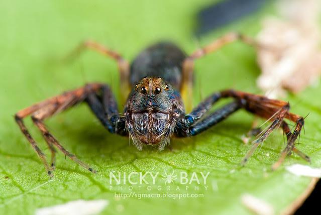 Lynx Spider (Oxyopidae) - DSC_4508