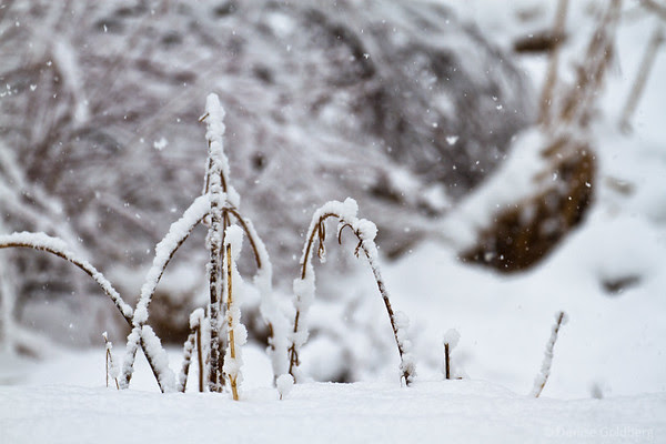 snow-covered grasses