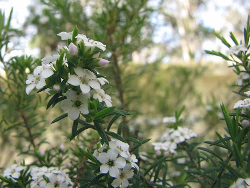 Diosma ericoides