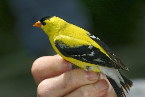 Bird banding at Warner Nature Center