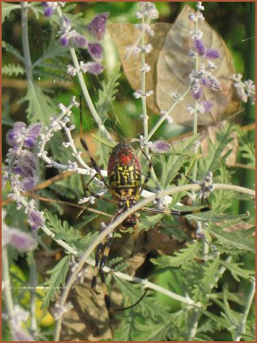 05 my pregnant spider alive