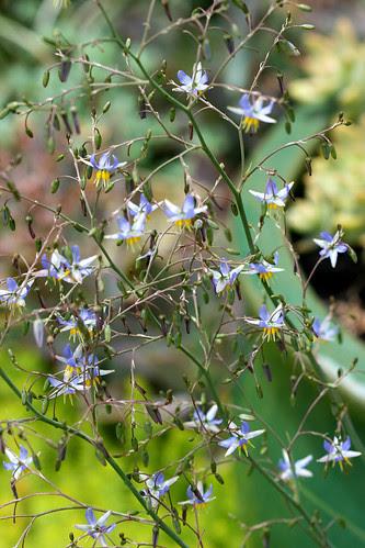 dianella cassa blue flowers