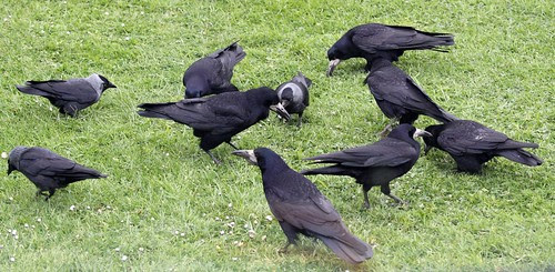 Rooks and Jackdaws