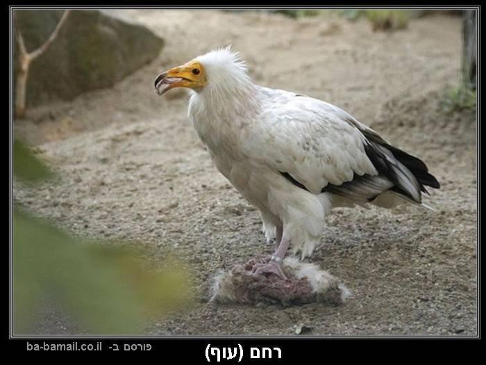 עופות דורסים, טבע, רחם