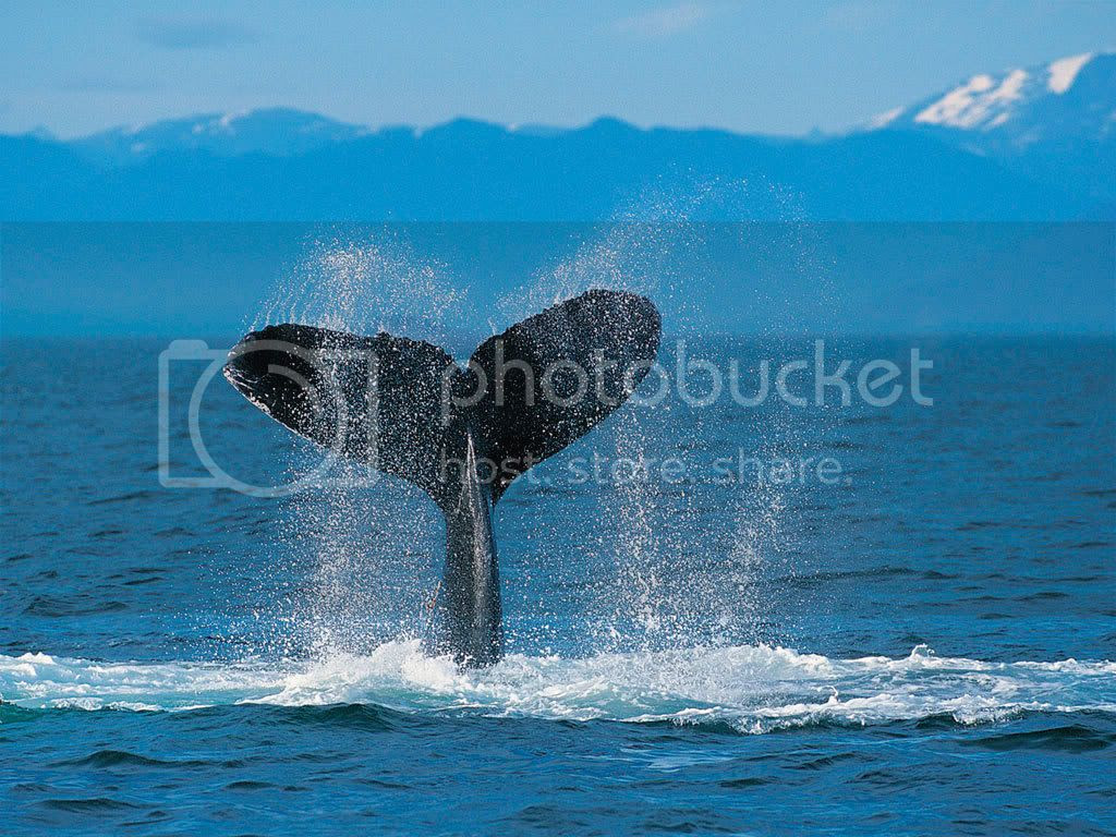 photo HumpbackWhale_zps9922db41.jpg