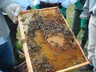 a tray of honey bees