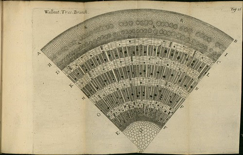 Wallnut Tree Branch - The comparative anatomy of trunks - Nehemiah Grew 1675
