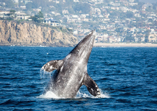Join the Annual Giant Blue Whale Migration at Newport Landing Whale Watching - The Funny Mom Blog