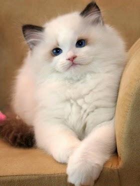 Ras Kucing Lucu Kucing