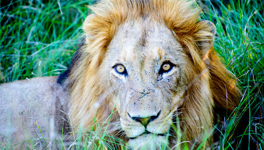 Only 250 lions are left in West Africa - Futurity