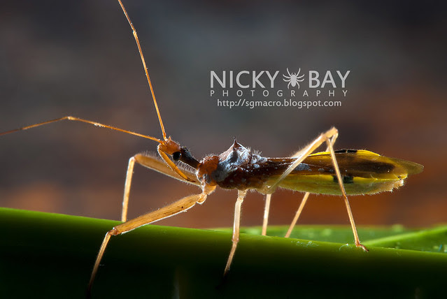 Assassin Bug (Reduviidae) - DSC_4045