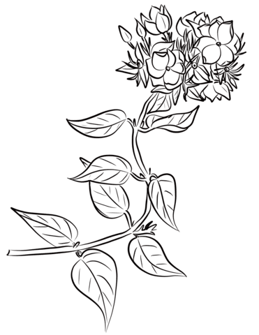 Jasmine Coloring Pages Free Coloring Pages