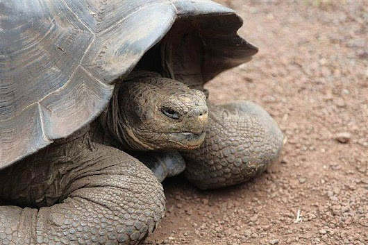 Encountering Giant Tortoises on Santa Cruz Island, Galapagos