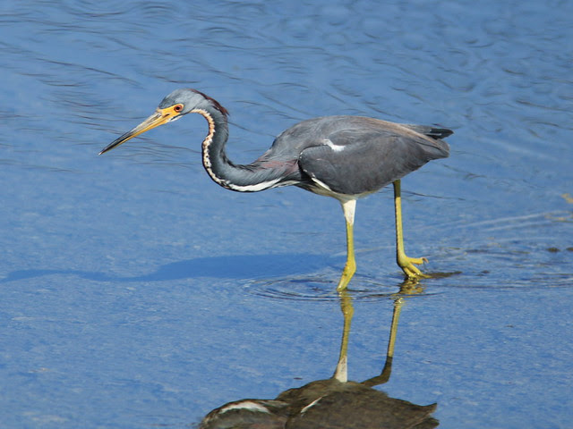 Tricolored Heron actively foraging 2-20140125