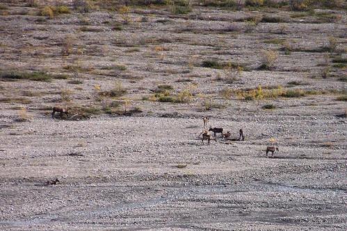 100_0585-Denali NP-Caribou