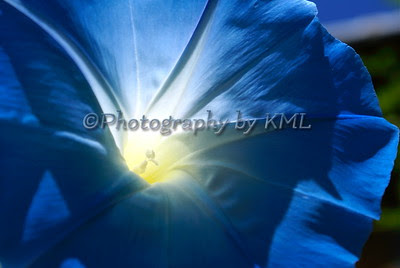 macro shot of a blue morning glory