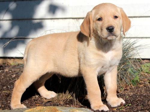 Goldador Dog Pictures