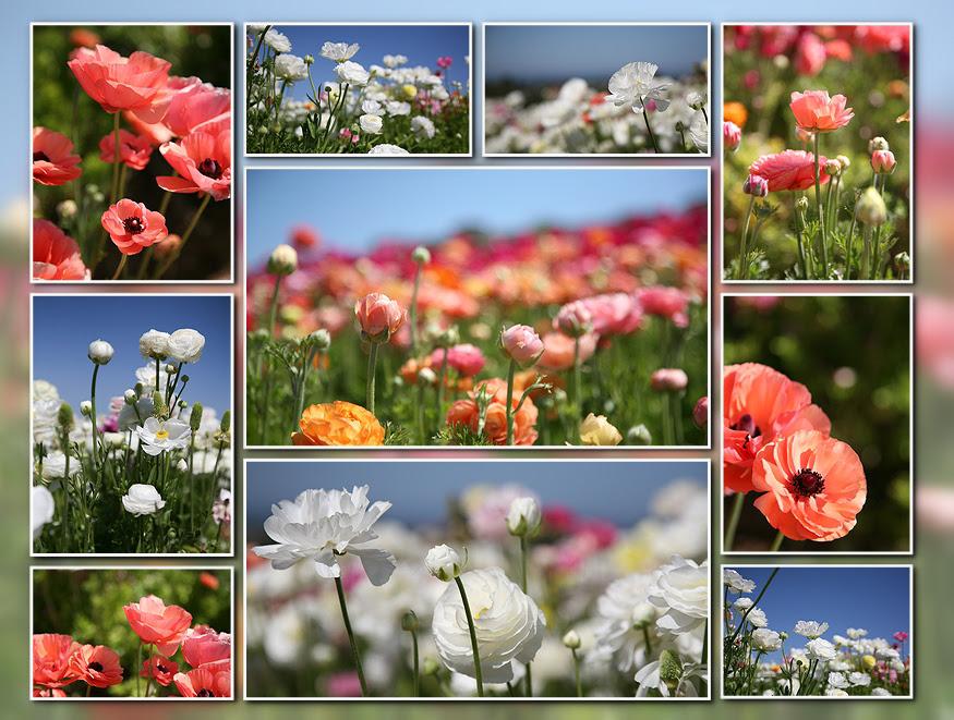 flower fields 09-000001