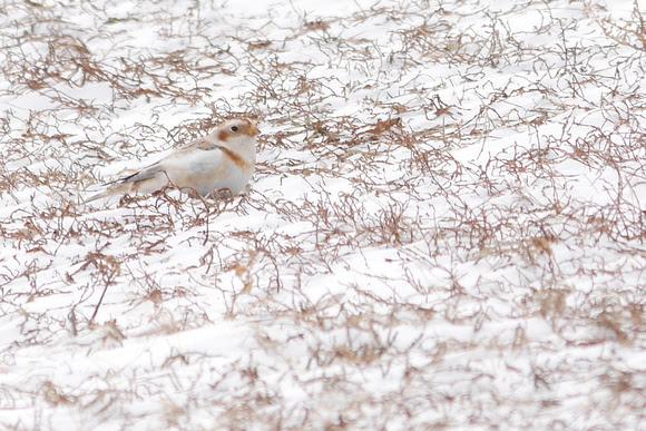 Ed Gaillard: recent &emdash; Snow Bunting, Randall's Island