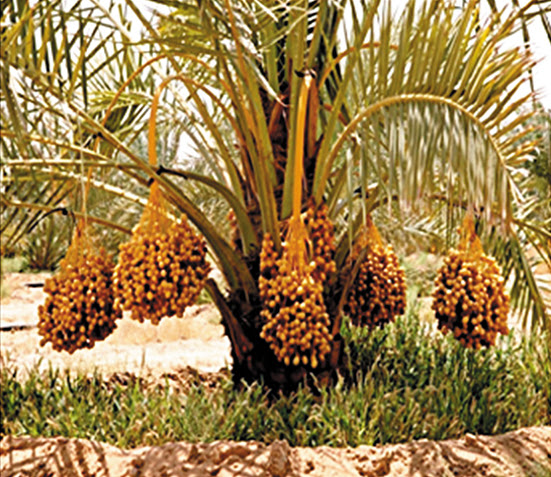 Worlds Largest Date Palm Garden Islamic Voice