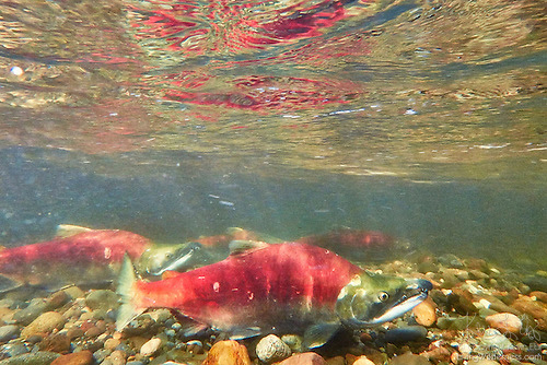 Sockeye Salmon Migrating, Underwater Image, Cedar River, Renton, Washington
