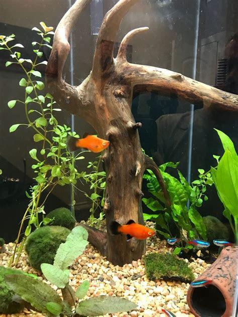 photo   gallon hex tall tank freshwater  fish