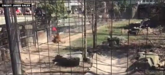 WATCH: WOMAN JUMPS INTO TIGER EXHIBIT At Zoo To Retrieve Hat…Was...