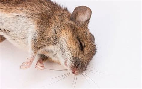 Best Way to Get Rid Of Mice: Killing and Poisoning   Stopping Pests