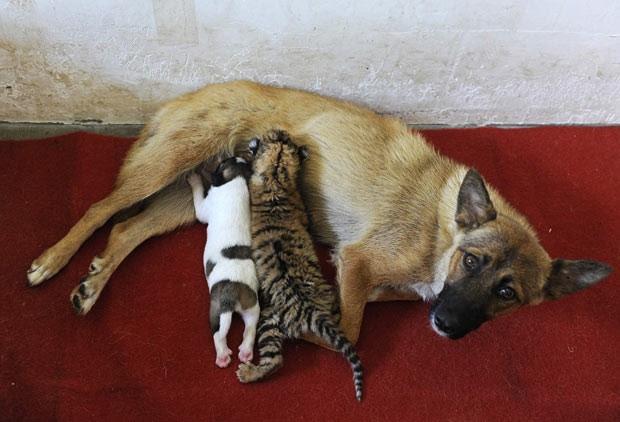 Cadela amamenta seu próprio filhote (à esquerda) e filhote de tigre em zoo de Hefei nesta sexta-feira (26) (Foto: Reuters)