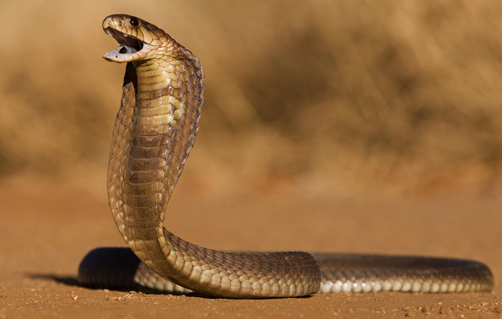 The Meaning And Symbolism Of The Word Cobra